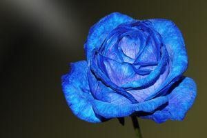 Фото бесплатно голубая роза, макро, лепестки