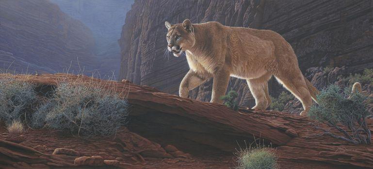 Photo free Canyon Glow Cougar, Puma, wild cat