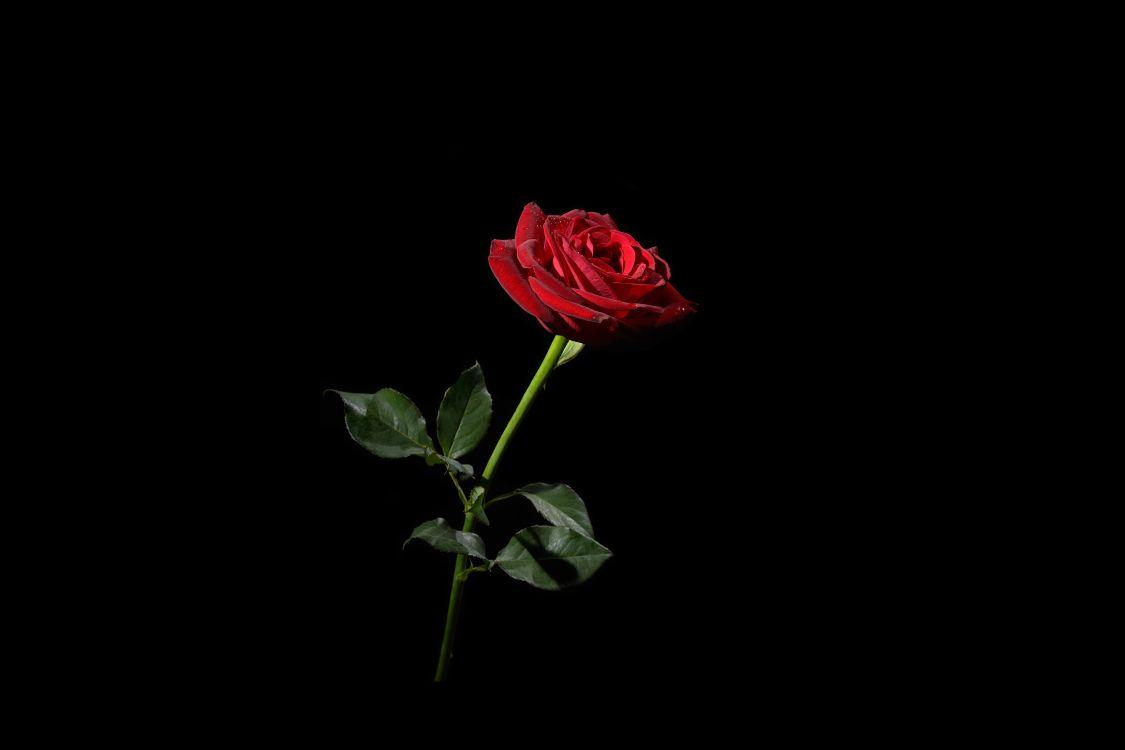 Фото бесплатно цветок, роза, чёрный фон, флора, цветы