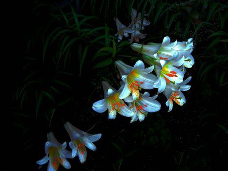 Красивые лилии