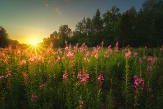 Заросли цветущего Ивай-чая недалеко от Щепкиного болота · бесплатное фото