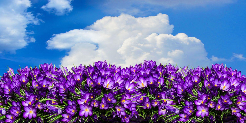 Фото бесплатно цветок, крокус, панорама, клумба, сад, весна, весенний цветок, цвести, фиолетовый, флора, небо, облака, цветы