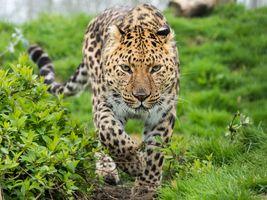 Фото бесплатно зверь, большая кошка, леопард