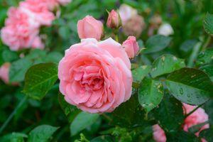 Фото бесплатно бутоны, флора, роза