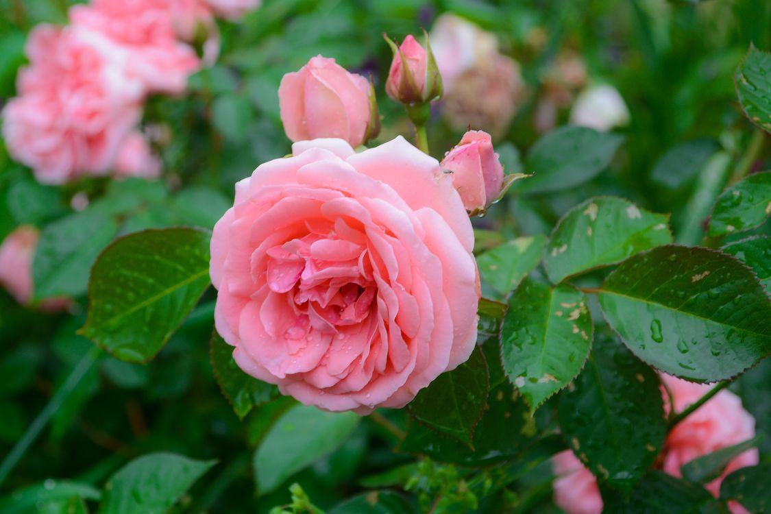 Фото бесплатно бутоны, флора, роза - на рабочий стол