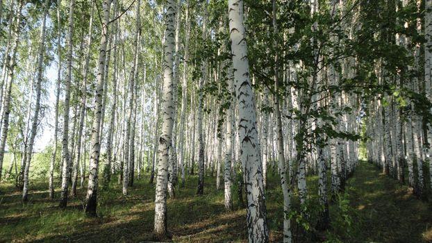 Фото бесплатно Березки, лес, лето