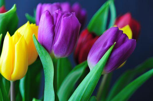 Тюльпаны крупным планом