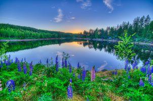 Фото бесплатно лес, люпин, цветы