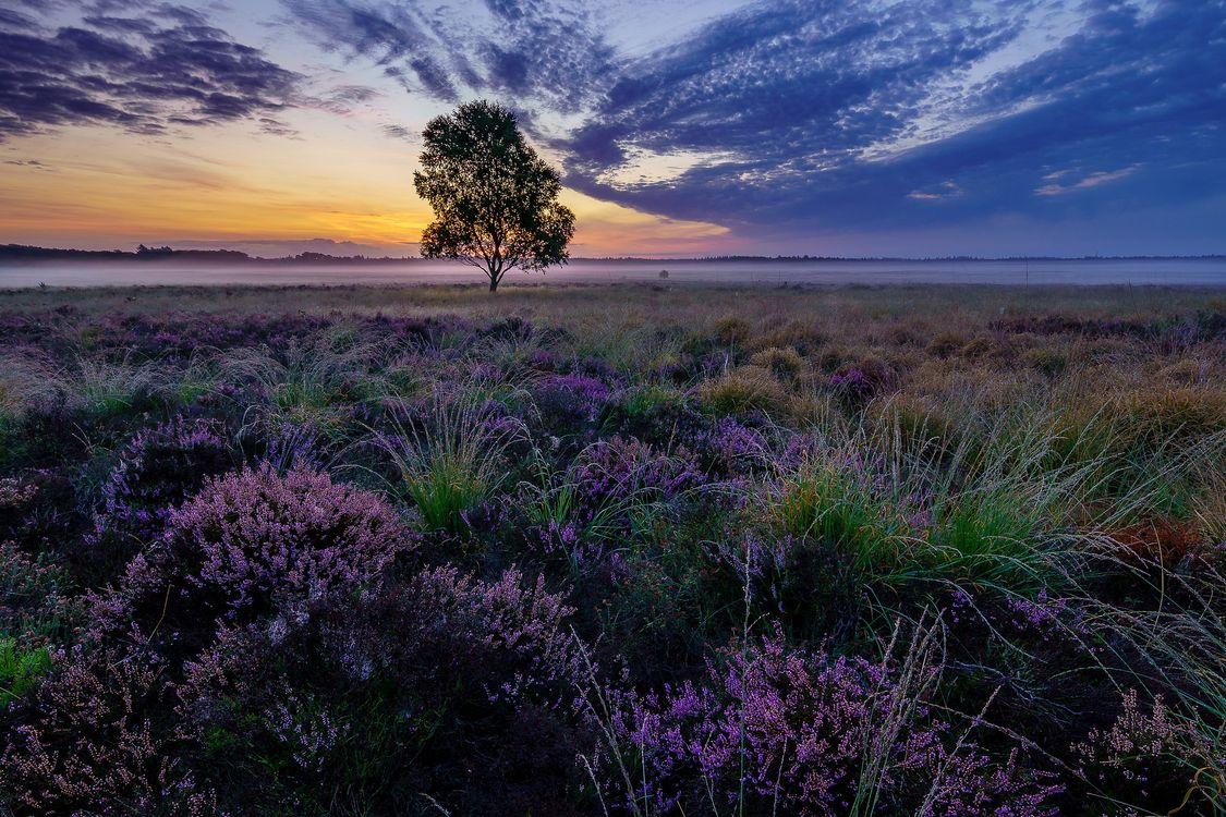 Free photo sunset, field, lavender - to desktop