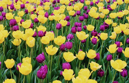 Как выглядят тюльпаны