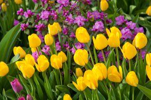 Ярко-желтые тюльпаны