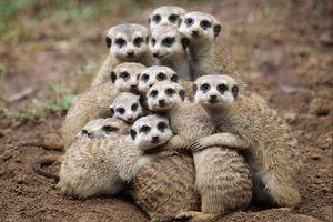 Бесплатные фото meerkat,селфи от сурикатов,suricate,suricata,suricatta,сурикаты,сурикат