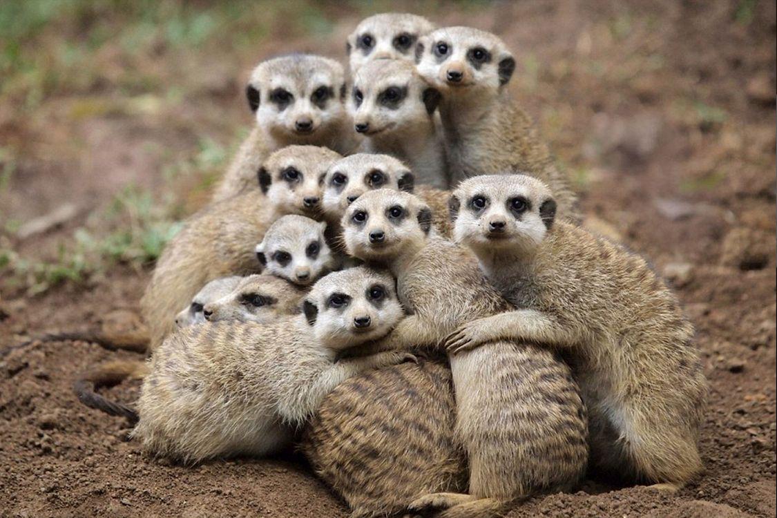 Фото бесплатно meerkat, селфи от сурикатов, suricate - на рабочий стол