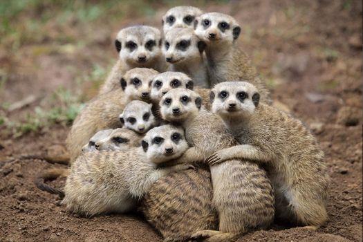 Бесплатные фото meerkat,селфи от сурикатов,suricate,suricata,suricatta,сурикаты,сурикат,meerkat family,животные