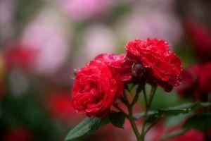 Заставки флора, роза, ветка