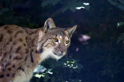 Photo free lynx, cat face, cat