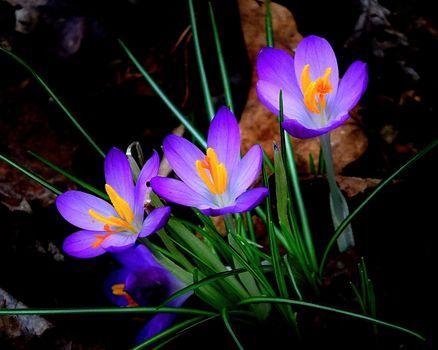 Фото бесплатно CROCUS, куст, кустарник