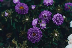 Фото бесплатно фиолетовые астры, лепестки, клумба
