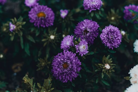 Photo free purple asters, petals, flowerbed