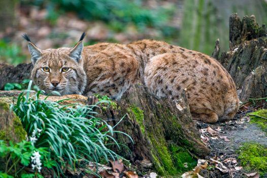 Фото бесплатно животное, большая кошка, рысь