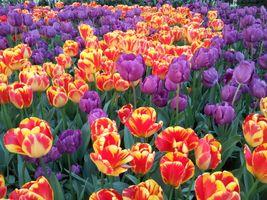 Фото бесплатно тюльпаны, красно-желтые, цветы, поле, природа