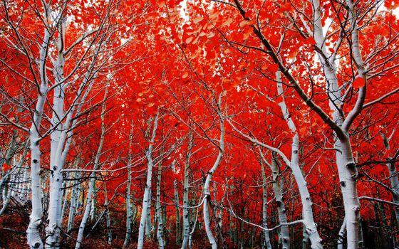 Заставки березовая роща, осень, лес