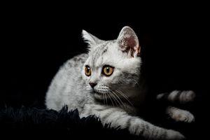 Бесплатные фото кот,кошка,взгляд,животное,чёрный фон
