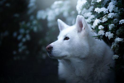 Белоснежная хаски с цветами · бесплатное фото
