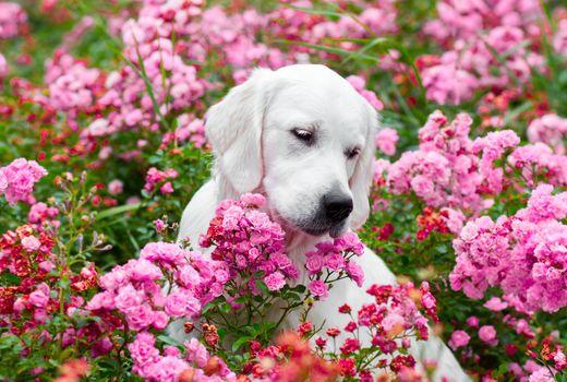 Ретривер в розовых цветах