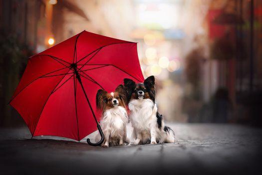 Два папильона под зонтом