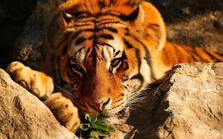 Тигр нюхает траву