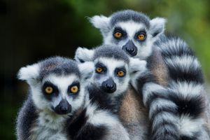Photo free lemur monkey family, lemurs, three