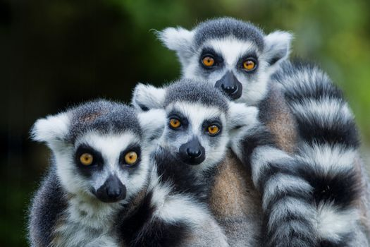 Photo free lemur monkey family, lemurs, three