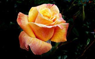 Бесплатные фото роза,оранжевая роза,цветы,цветок,флора