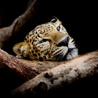 Фото хищник, животное на рабочий стол