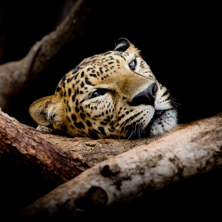 Обои Leopard portrait, леопард, хищник картинки на телефон