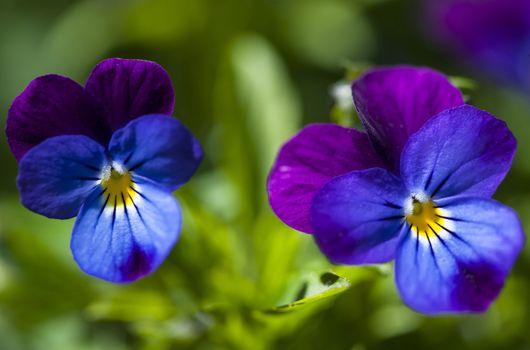 Две цветка анютины глазки · бесплатное фото