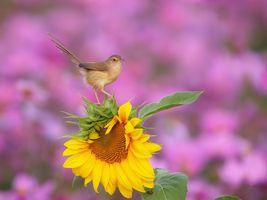 Заставки подсолнух, птица, цветок