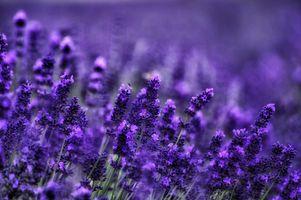 Фото бесплатно растение, поле, лаванда