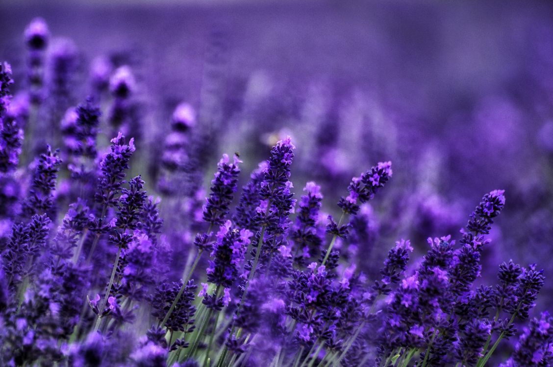 Обои поле, цветы, лаванда, флора, цветение, растение картинки на телефон