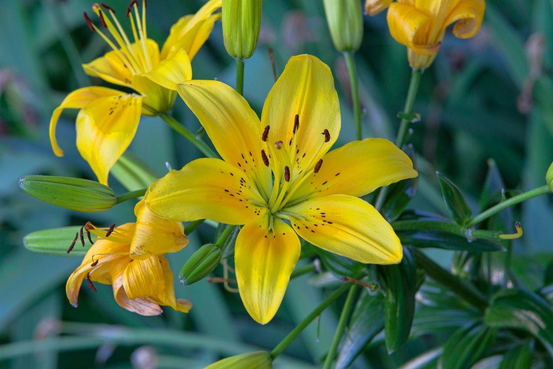 Фото бесплатно лилии, цветы, лилия, цветок, флора, цветы
