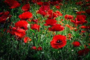 Photo free flowers, poppies, flowering