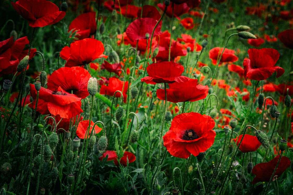 Обои поле, маки, цветы картинки на телефон