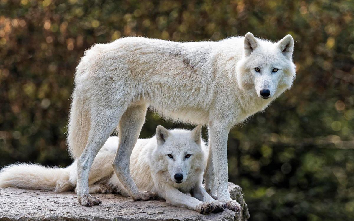 Фото бесплатно Белые волки, семья, величественный - на рабочий стол