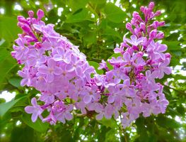 Бесплатные фото сирень,ветка,листья,цветы,флора