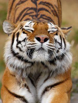 Фото бесплатно tiger, тигр, потягивание