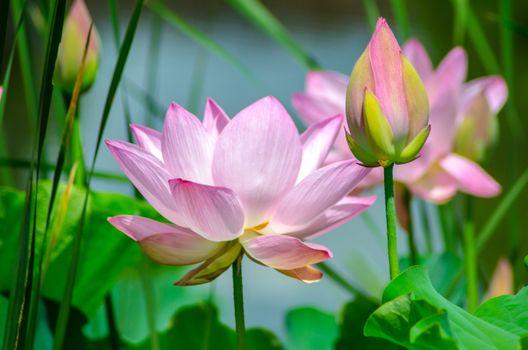Фото бесплатно водоём, цветы, лотос