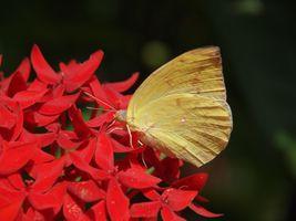 Фото бесплатно желтая бабочка, крылья, красные цветы