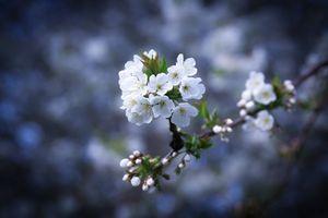 Фото бесплатно Cherryblossoms, лепестки, веточка