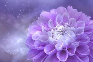 Георгин цветок во всей красе